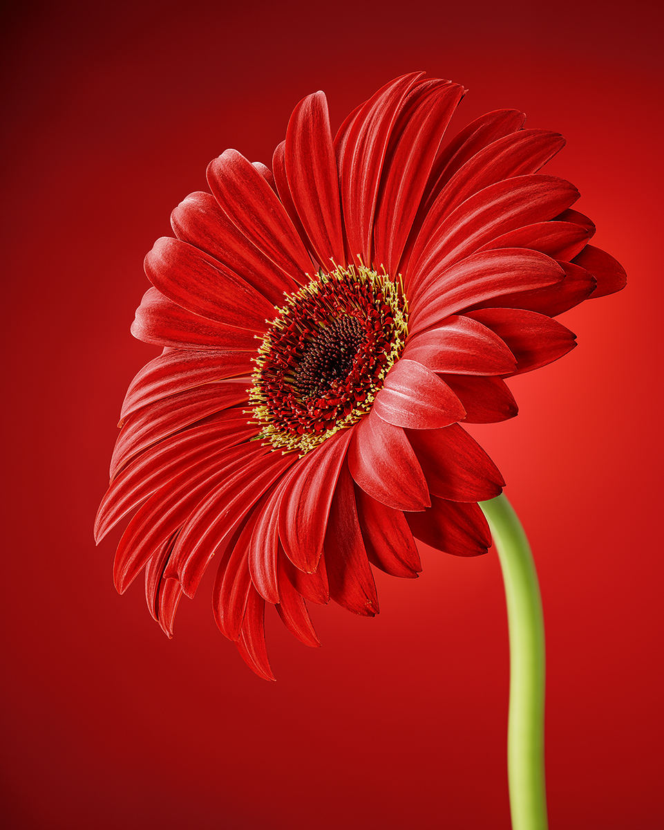 Red_Daisy_FRC_R3_Intensity_1200px
